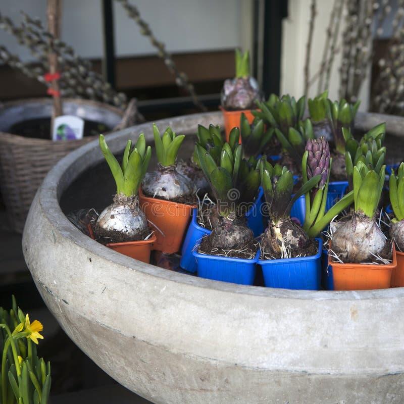 Schöne frische bunte Hyazinthenblumen stockfotos