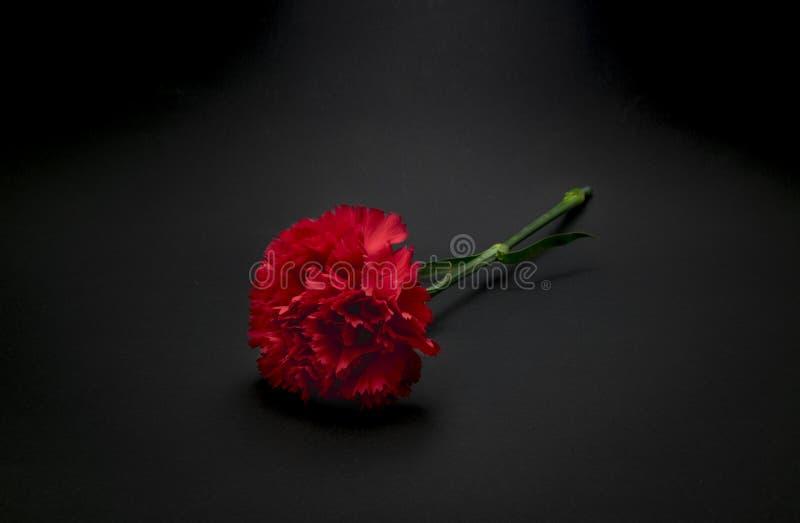Schöne, frische Gartennelkenblume auf schwarzem Hintergrund stockfotografie