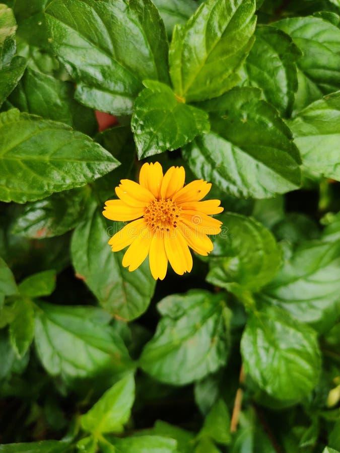 Schöne frische gelbe Blume im grünen Blatthintergrund stockfotos