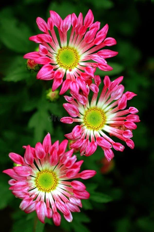 Schöne Gänseblümchen stockfoto
