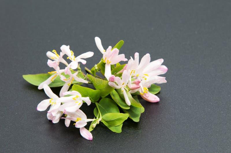 Schöne Gänseblümchenblumen auf schwarzem Hintergrund stockfotografie