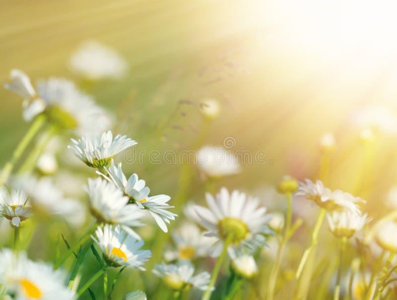 Schöne Gänseblümchenblumen im Sonnenlicht gebadet lizenzfreies stockbild