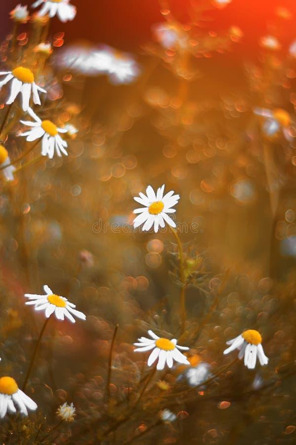 Schöne Gänseblümchenblumen umgeben durch glänzende goldene Strahlen und stockbilder