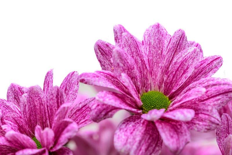 Schöne Gänseblümchenblumen und weißer Hintergrund lizenzfreies stockfoto