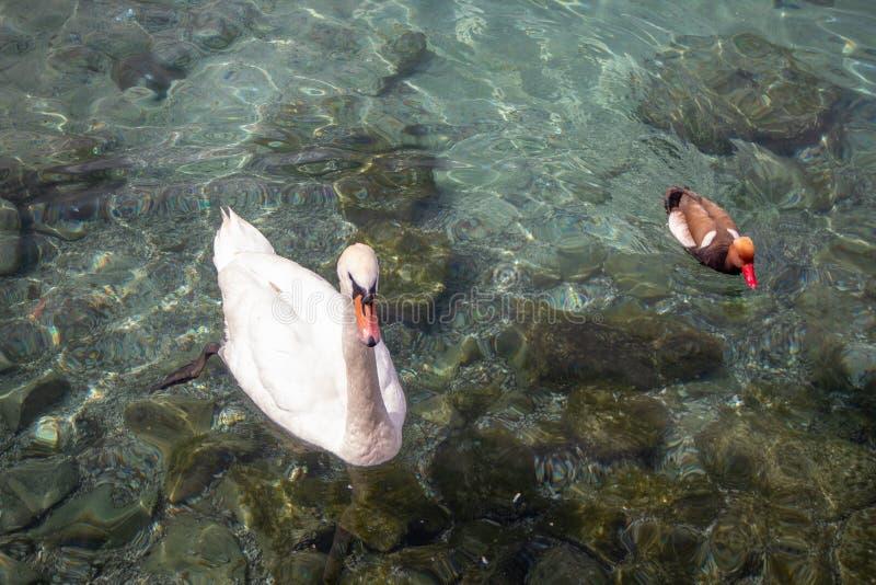 Schöne Gans und nette Ente, die auf klares Wasser im Geneva See für Hintergrund schwimmt stockfotografie