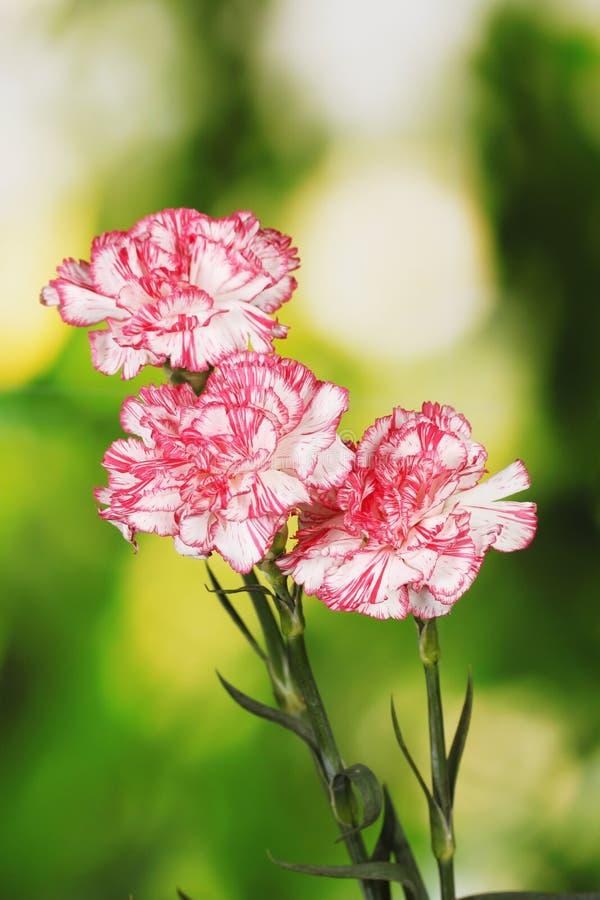 Schöne Gartennelken stockfotos