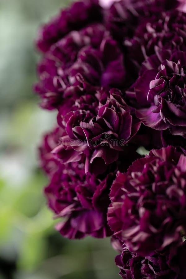 Schöne Gartennelkenblumen in einem Vase auf einer Tabelle Blumenstrauß der dunklen violetten, purpurroten und rosa Mehrfarbenblum stockbild