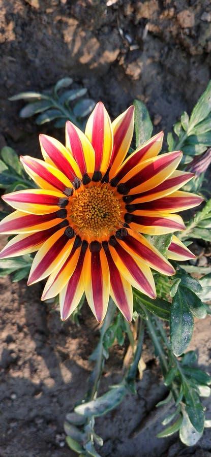 Schöne Gazania-Blume rot und gelb stockfoto