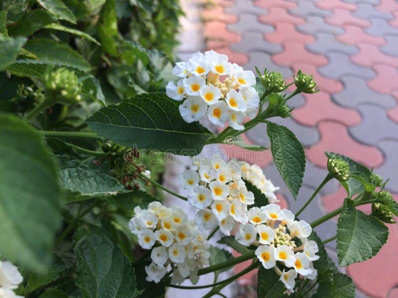 Schöne gebläute geschossene weiße Blumen des Fokus Kamera lizenzfreie stockfotos