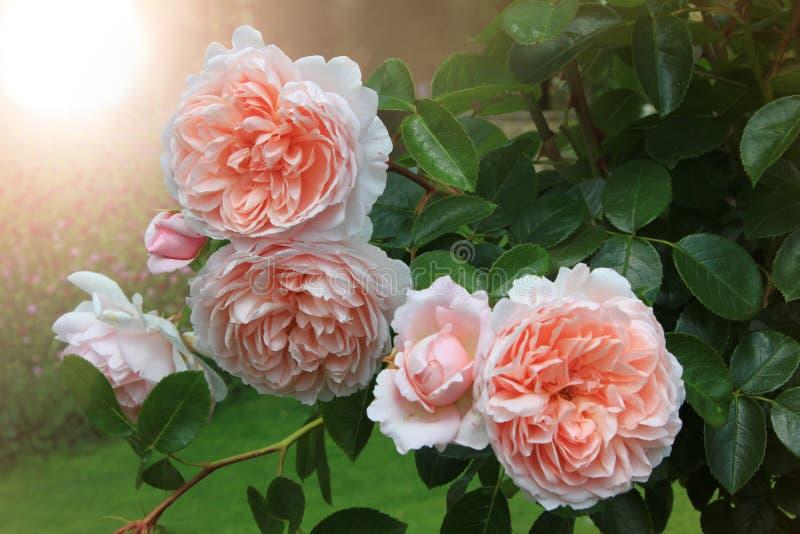 Schöne gefüllte helle Aprikosenfarbe der Rosen und helles Licht lizenzfreies stockbild