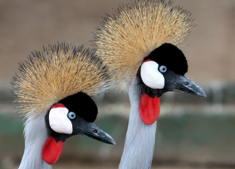Schöne gekrönte Kran-Vögel stockfotos