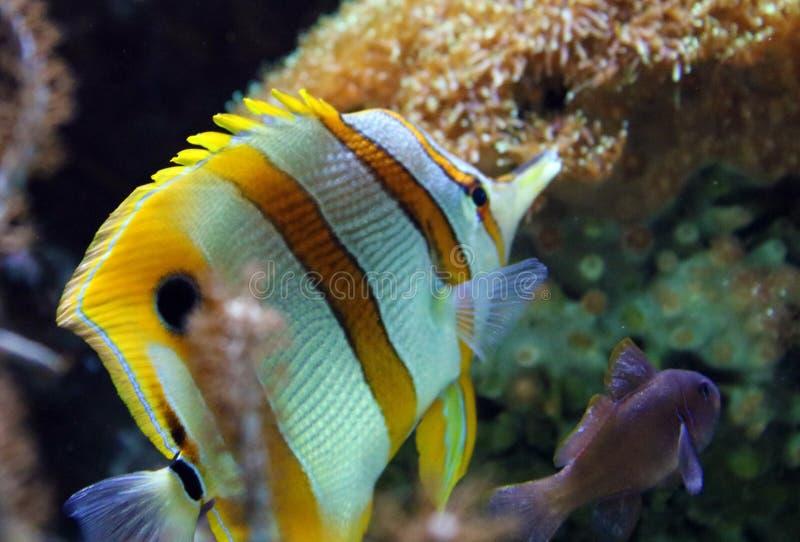 Schöne gelbe abgestreifte Schwarzweiss-Fische mit Anemonenrosa und -ROT im Korallenriff in Ozean lizenzfreie stockbilder