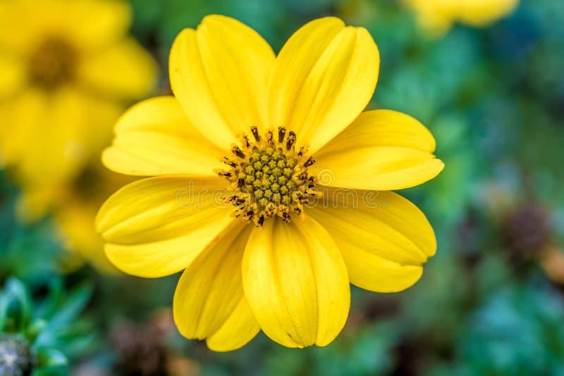 Schöne gelbe Blüte in ausführlicher Nahaufnahme lizenzfreies stockbild