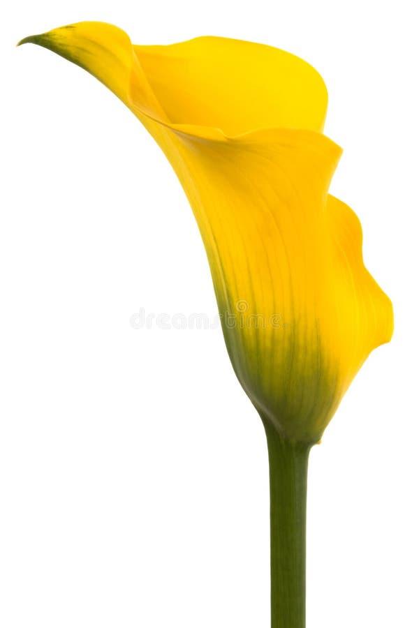 Schöne gelbe Blume stockfoto