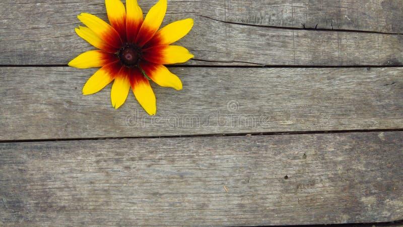 Schöne gelbe Blume auf hölzernem Hintergrund stockbilder