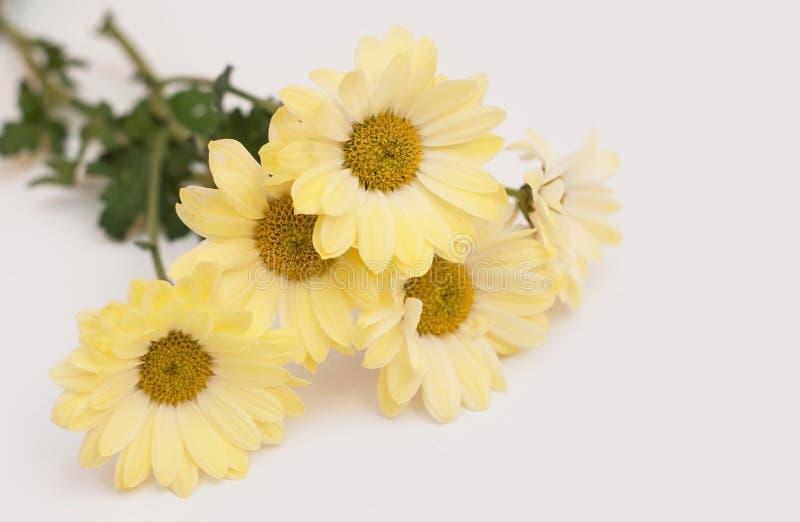 Schöne gelbe Blumen der Chrysantheme auf einem weißen Hintergrund stockbilder