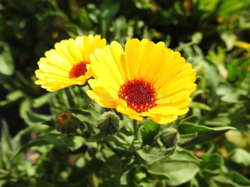 Schöne gelbe Blumen im Park, Litauen lizenzfreie stockbilder