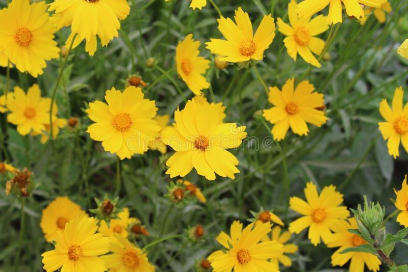 Schöne gelbe Blumen mit den gezackten Blumenblättern blühten im Frühjahr stockbild