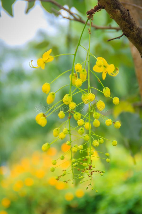 Schöne gelbe Duschblume Cassia Fistula auf Baum Kassiefistel ist alias der Baum des goldenen Regens lizenzfreies stockbild