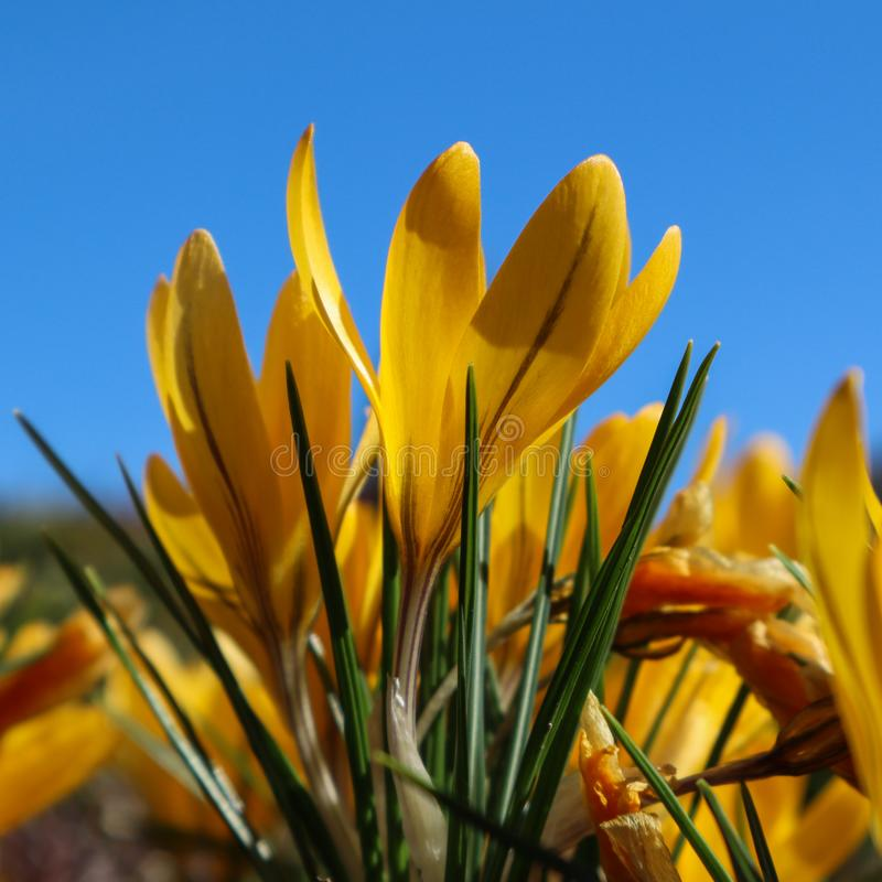 Schöne gelbe Krokusblumen im Frühjahr gegen blauen Himmel lizenzfreie stockbilder