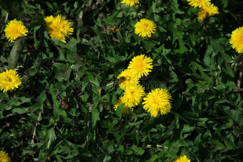 Schöne gelbe Löwenzahnblume im Frühjahr stockfotos