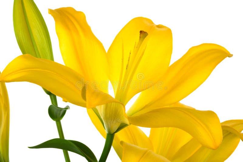 Schöne gelbe Lilie stockfotos