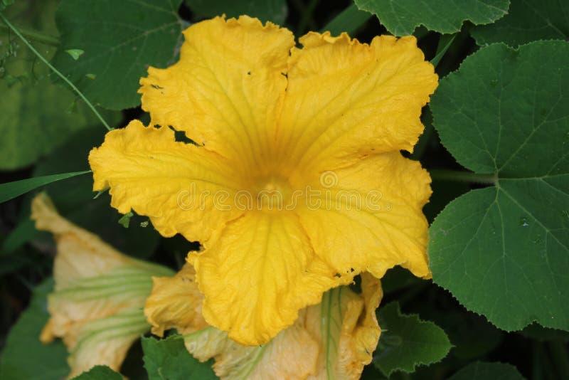 Schöne gelbe Muskatellertraubenkürbisblume Biogarten, Kürbise blühen, Makrophotographie lizenzfreies stockbild