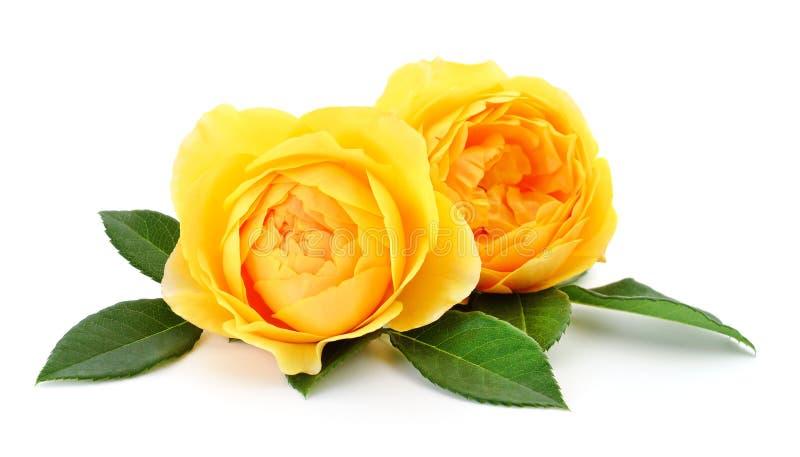 Schöne gelbe Rosen lizenzfreie stockbilder