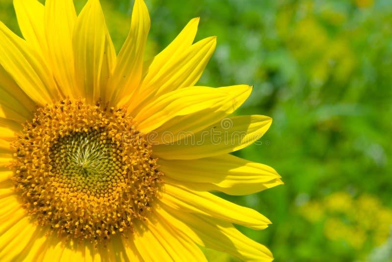 Schöne gelbe Sonnenblume stockfotografie
