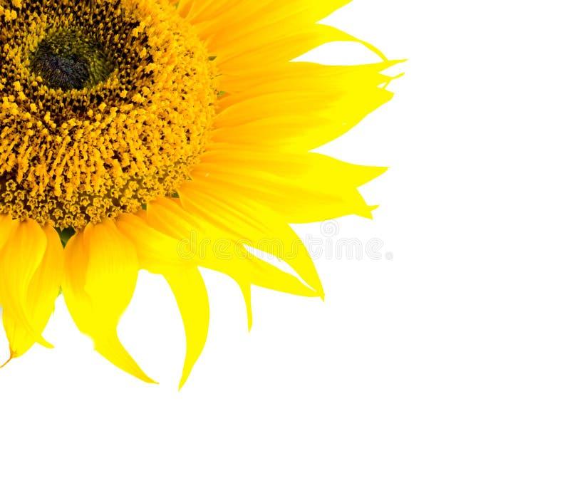 Schöne gelbe Sonnenblume stockbild