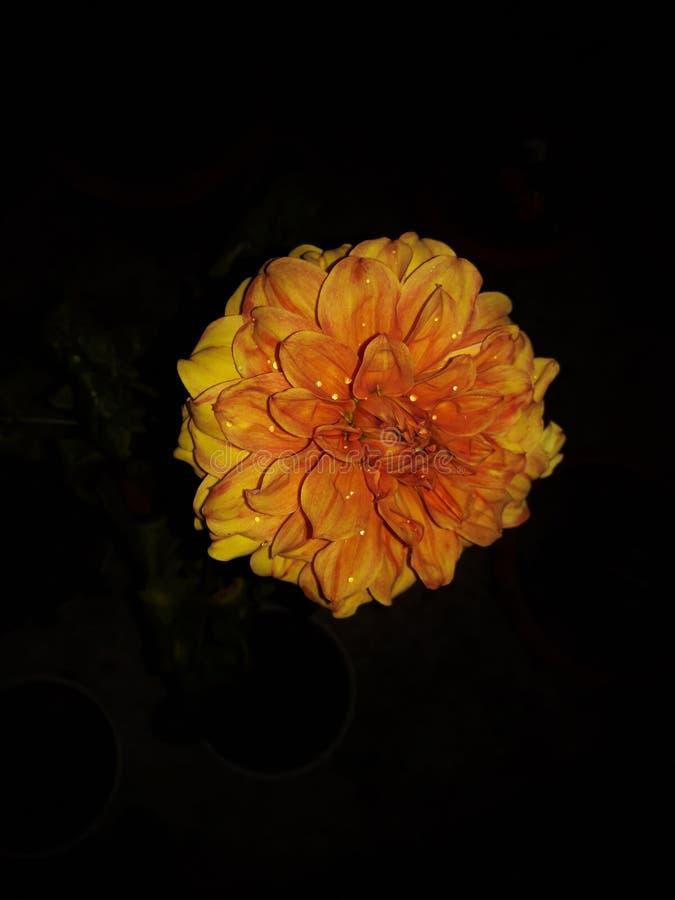 Schöne gelbe Sonnenblume im dunklen Hintergrund stockbilder