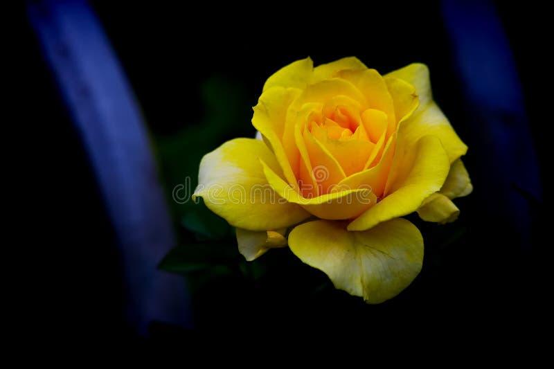 Schöne gelbe Strauchrose gegen dunklen Hintergrund stockfotos
