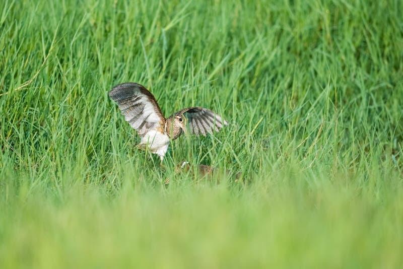 Schöne gemalt jagen ausbreiten Flügel Schnepfen lizenzfreies stockfoto