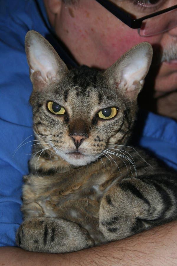 Schöne gesprenkelte Devon Rex-Katze schmiegt sich in den Armen ihre Meister an stockbild
