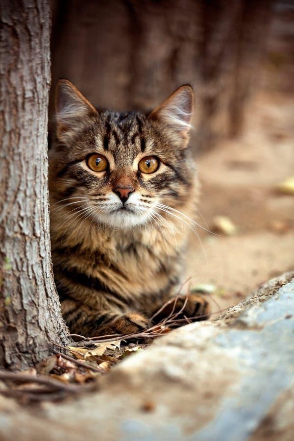 Schöne, gestreifte Katze liegt hinter einem Baum außerhalb des Hauses und betrachtet sorgfältig die Kamera stockfoto
