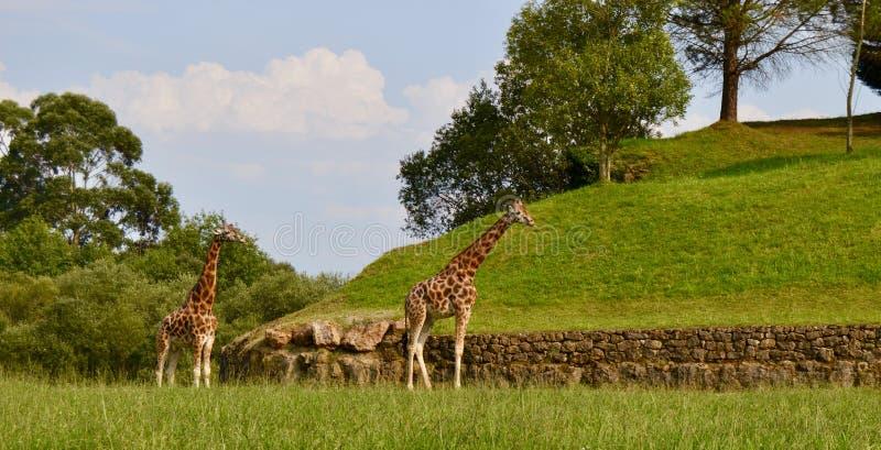 Schöne Giraffen, die in einem Naturpark leben lizenzfreie stockfotos