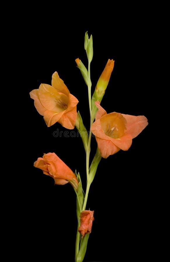 Schöne Gladiolusblume über Schwarzem stockbilder