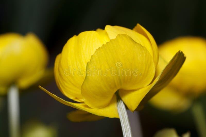 Schöne globeflowers wachsen auf einer Frühlingswiese Trollius europaeus lizenzfreie stockfotos