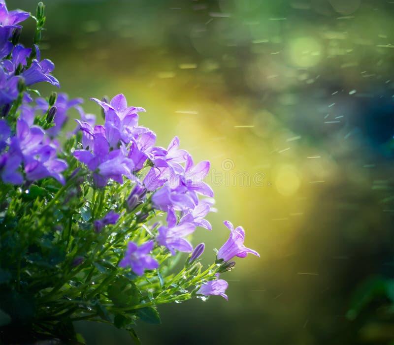 Schöne Glockenblume blüht auf Grün unscharfem Naturhintergrund stockfotos
