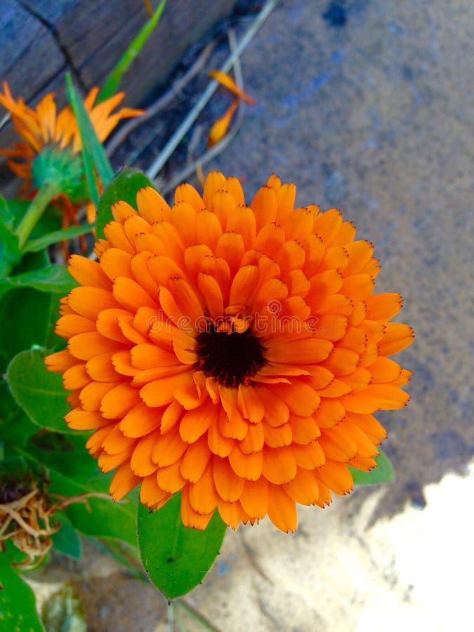 Schöne goldene orange Blume stockfotografie