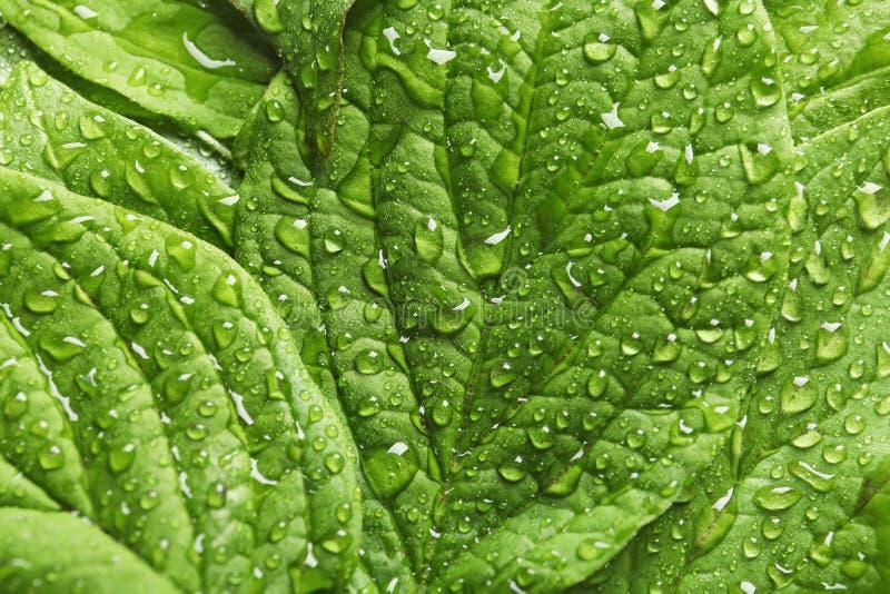 Schöne Grünblätter mit Tau lizenzfreie stockfotografie