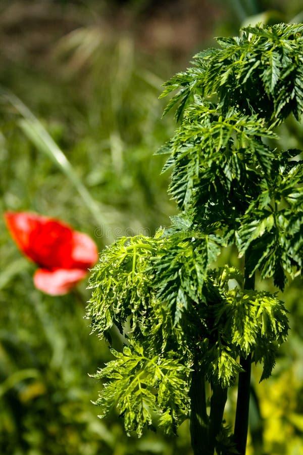 Schöne grüne Blätter einer Anlage mit einem defocused Hintergrund der roten Mohnblume lizenzfreie stockfotografie
