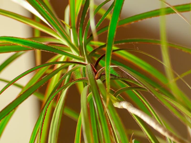Schöne grüne Blätter eines Drachenbaums - Dracena Marginata lizenzfreie stockbilder
