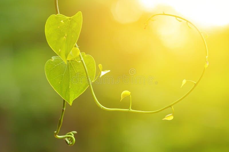 Schöne grüne Blattherzform stockfotos