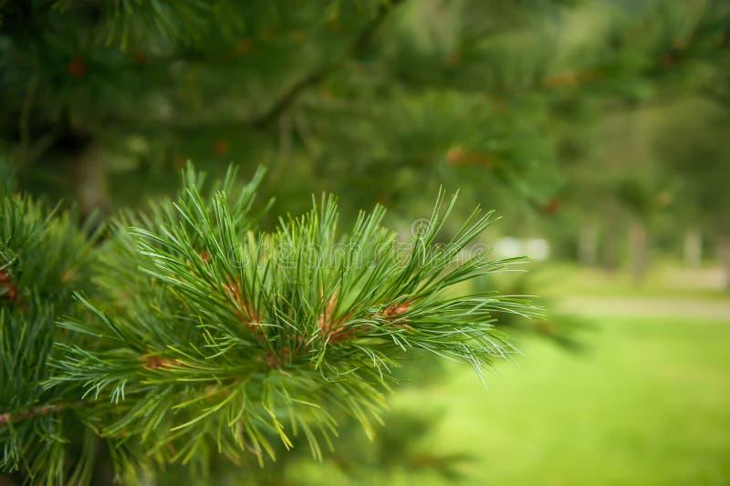 Schöne grüne Niederlassung einer Zeder auf einem grünen Hintergrund Selektiver Fokus stockbild