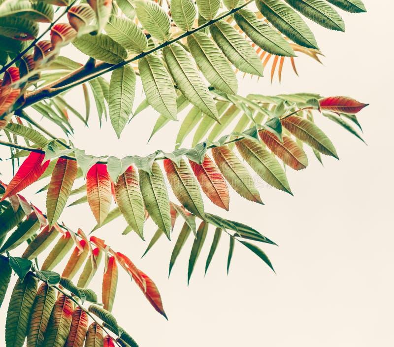 Schöne grüne Rotblätter Tropische Blätter auf hellem Hintergrund lizenzfreie stockbilder