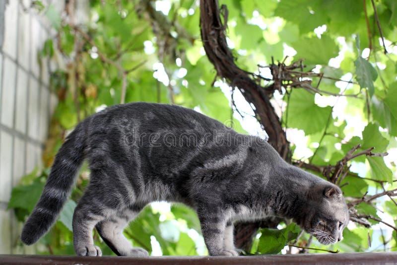 Schöne graue Britisch Kurzhaar-Katze, die im Gras sitzt Graue Katze im Sommergarten stockfotografie