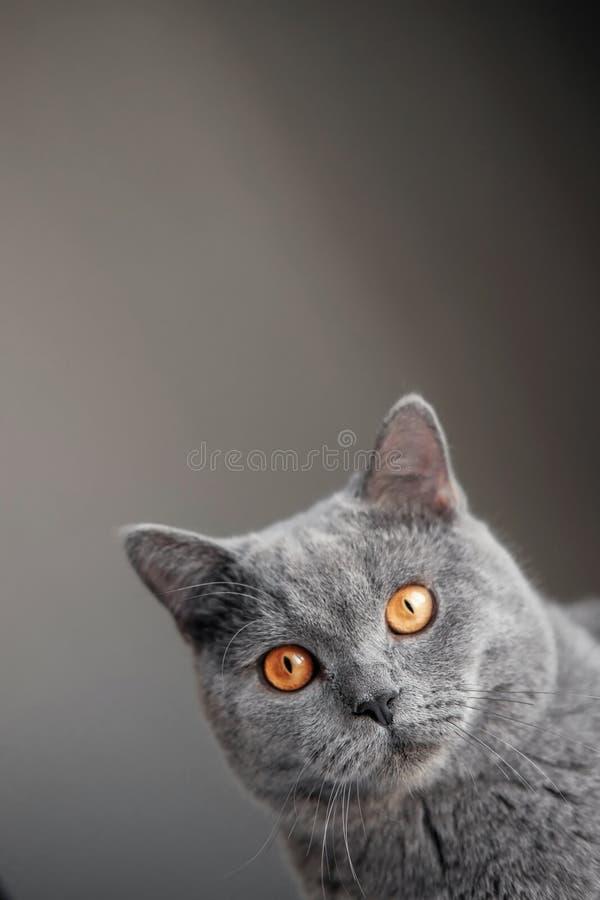 Schöne graue britische Katze mit gelben Augen späht um die Ecke lizenzfreie stockfotografie