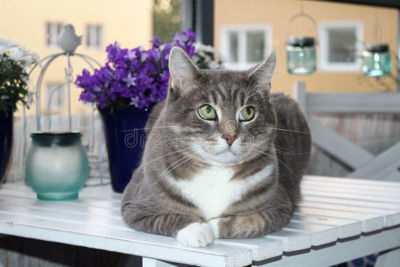 Schöne graue gesprenkelte Katze mit grünen Augen stockfoto
