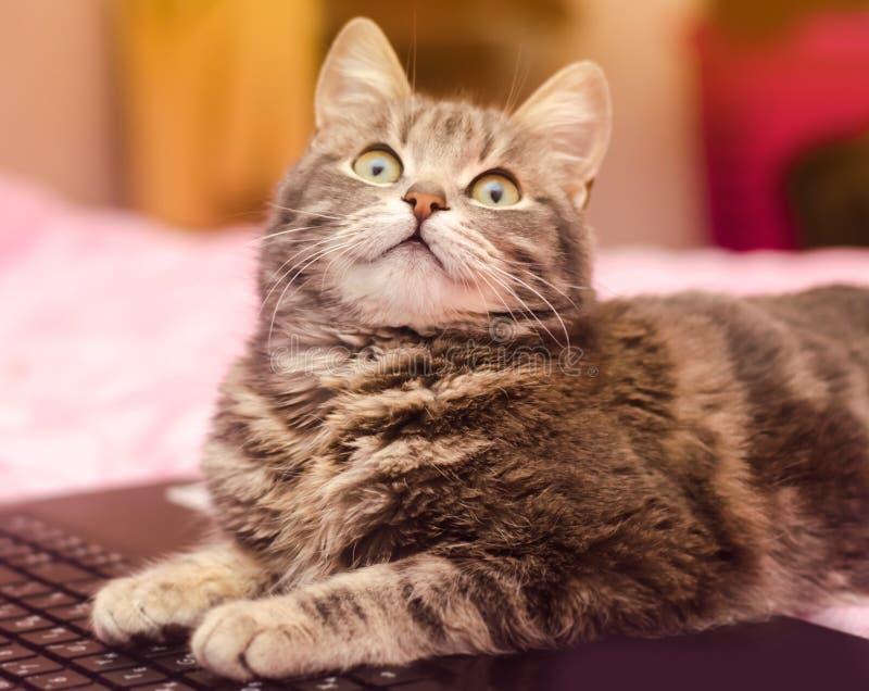 Schöne graue Katze der getigerten Katze liegt mit einem Laptop lustiges Haustier Rosa Hintergrund Selektiver Fokus lizenzfreie stockfotografie